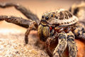 Wolf spider macro shot of a Stock Photos