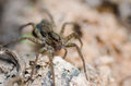 Wolf spider in the nature Stock Photography