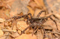 Wolf spider tiny crawling on the ground Royalty Free Stock Images