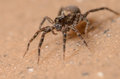 Wolf spider tiny crawling on the ground Royalty Free Stock Image