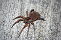 Wolf Spider with young Royalty Free Stock Images