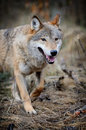 Wolf wild in autumn forest Stock Photo