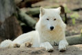 Wolf wild white in the woods Royalty Free Stock Images
