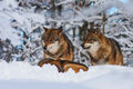 Wolf wolves in winter at prey Stock Photo