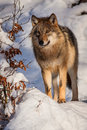 Wolf wolves in winter at prey Royalty Free Stock Images