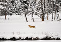 Wolf in yellowstone park winter Royalty Free Stock Photos