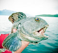 Wolffish, Anarhichas lupus. Stock Photos