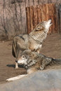Wolfs Royalty Free Stock Photography