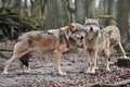 Wolfs lupus canis in wood Royalty Free Stock Images