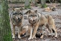 Wolfs lupus canis in wood Royalty Free Stock Image