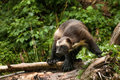 Wolverine adult stalking along fallen tree trunk Stock Images