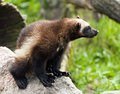 Wolverine the called also glutton carcajou skunk bear or quickhatch Royalty Free Stock Images