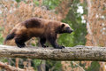 Wolverine the glutton carcajou skunk bear or quickhatch Royalty Free Stock Photography