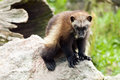 Wolverine the glutton carcajou skunk bear or quickhatch Royalty Free Stock Photos