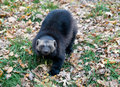 Wolverines a in the zoological garden in autumn Stock Photos