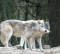 Wolves Royalty Free Stock Images