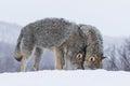 Wolves cuddling in polar park in troms norway Stock Photos