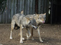 Wolves jogging captive exhibiting social behaviour Stock Image