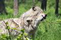 Wolves in nature during summer Stock Images