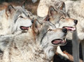 Wolves pack of in summer Royalty Free Stock Photography