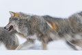 Wolves in polar park in troms norway Stock Photography