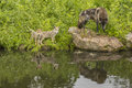 Wolves and reflections a family of rejected in a pond Royalty Free Stock Photo