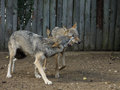 Wolves snarling captive exhibiting social behaviour Royalty Free Stock Photo