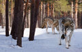 Wolves in  winter  forest Royalty Free Stock Images