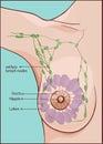 Woman breast anatomy