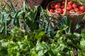 Woman caries tomatoes in a basket across vegetable garden Royalty Free Stock Photo