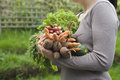Woman carrying freshly harvested vegetables midsection of in garden Royalty Free Stock Photos