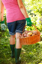 Woman carrying potatoes in garden a full basket of Stock Images