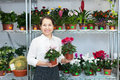 Woman chooses cyclamen plant at flower shop Stock Images