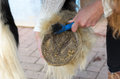 Woman cleans the horse s hooves with a brush Stock Images