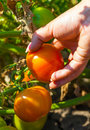 Woman collects tomatoes Royalty Free Stock Photo