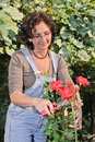 Woman cutting roses with shears Royalty Free Stock Image