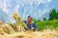 Woman drying wheat in indian himalaya mountains Royalty Free Stock Images