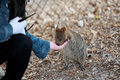 Woman feeding Quokka Stock Photo