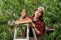 Woman gardener picking peaches Royalty Free Stock Photo