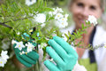 Woman gardening with blue gloves senior cultivating white flowers Royalty Free Stock Image