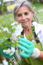 Woman gardening flowers with gloves senior cultivating white Stock Photos