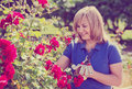 Woman gardening red roses and holding horticultural tools on sun Royalty Free Stock Photo