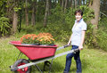 Woman gardening wheel barrow chrysanthemums Stock Photos