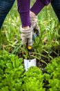 Woman in gloves working with small shovel on garden bed closeup photo of lettuce Royalty Free Stock Photos