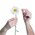 Woman guesses on a chamomile flower girl tears off petals of daisy isolated white background Stock Image