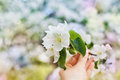 Woman hand holding an apple blossom branch with white flowers against beautiful bokeh background selective focus Stock Images