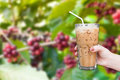Woman hand holding the glass iced coffee on fresh coffee beans in coffee plants tree Royalty Free Stock Photo