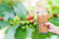woman hand holding the glass iced coffee on fresh coffee beans in coffee plants tree,fresh arabica coffee fruits on tree backgroun Royalty Free Stock Photo