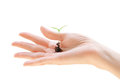 Woman hand holding small green seedling. Isolated on white Royalty Free Stock Photo