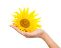 Woman hand holding yellow sunflower sun Royalty Free Stock Photo